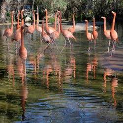 Zoo Barcelona  Flamencos