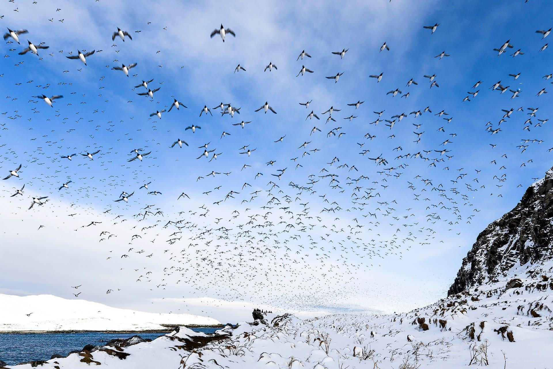 Araos aliblancos en vuelo sobre Hornoya