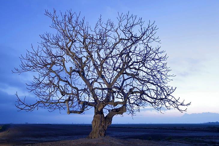 HIGUERA (Ficus carica) DELTEBRE. DELTA DEL EBRO. TARRAGONA. ILUMINADA CON LUZ 3.200 K.